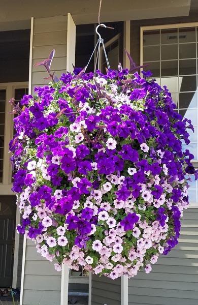Hanging Baskets - Garden Center